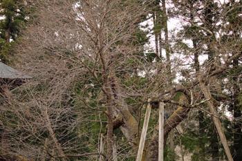 会津の五桜を取材してきました~♪_d0250986_1056040.jpg