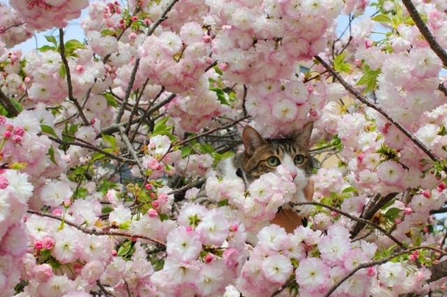 ぽんぽん桜猫 ぽー編。_a0143140_22371670.jpg
