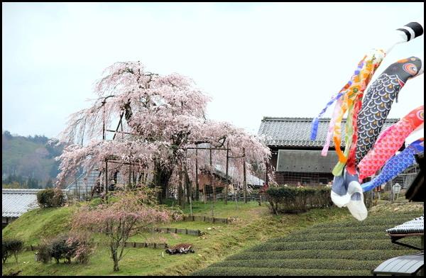 桜_f0053342_15115178.jpg
