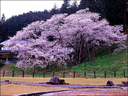 桜の起源_c0059946_20443339.jpg