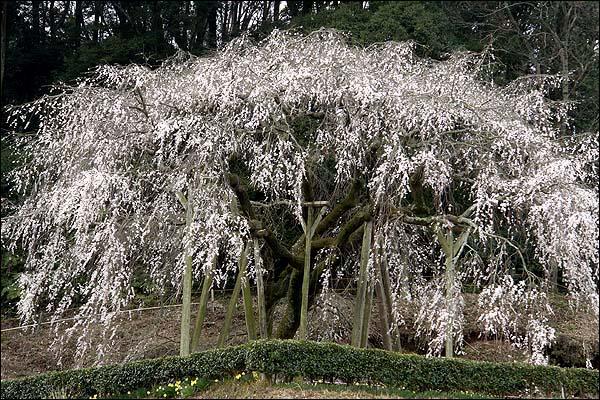 桜の起源_c0059946_20512062.jpg