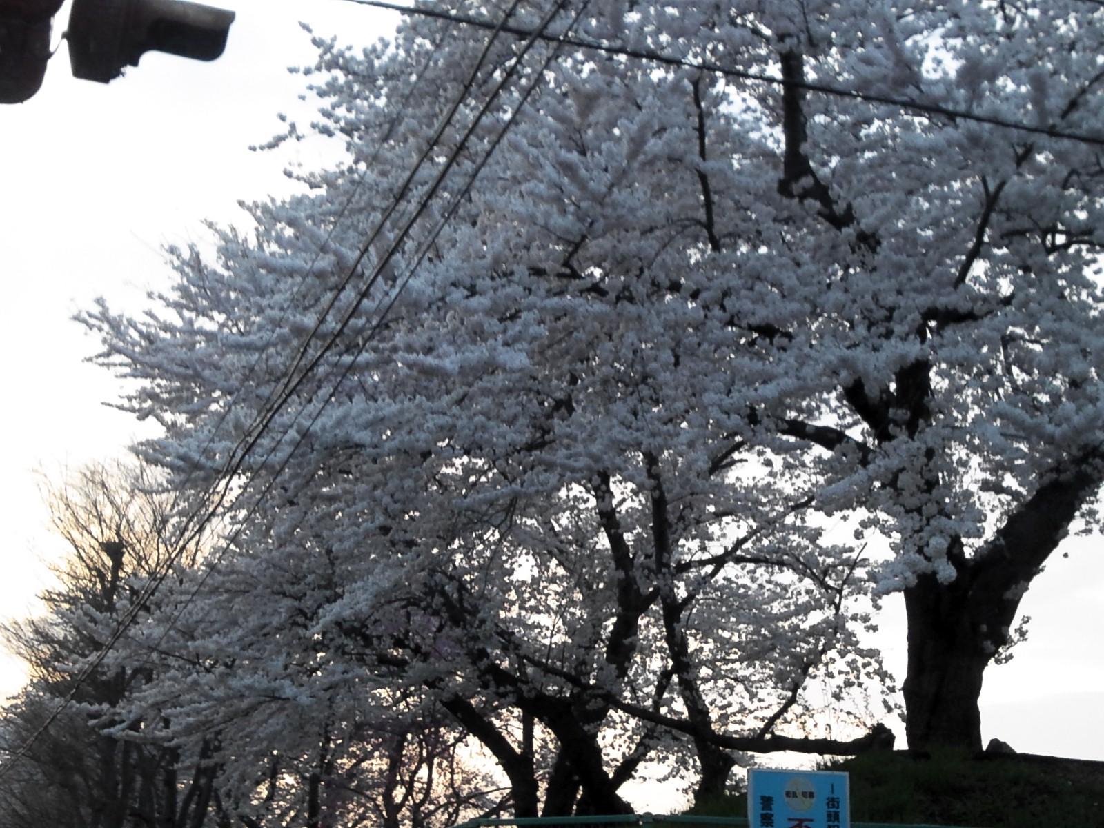 夕方の桜_e0081753_20144440.jpg