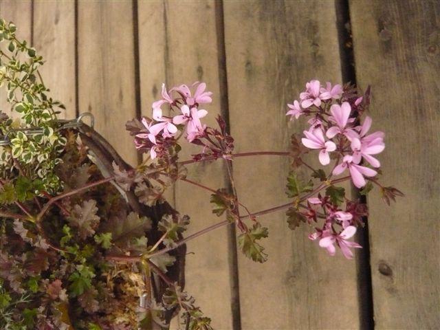 お気に入りの花・・・・・ぺラルゴニュウム ディアウッド・ラベンダーラス_b0137969_1648642.jpg