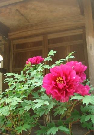 牡丹が咲きました_e0251278_1843745.jpg
