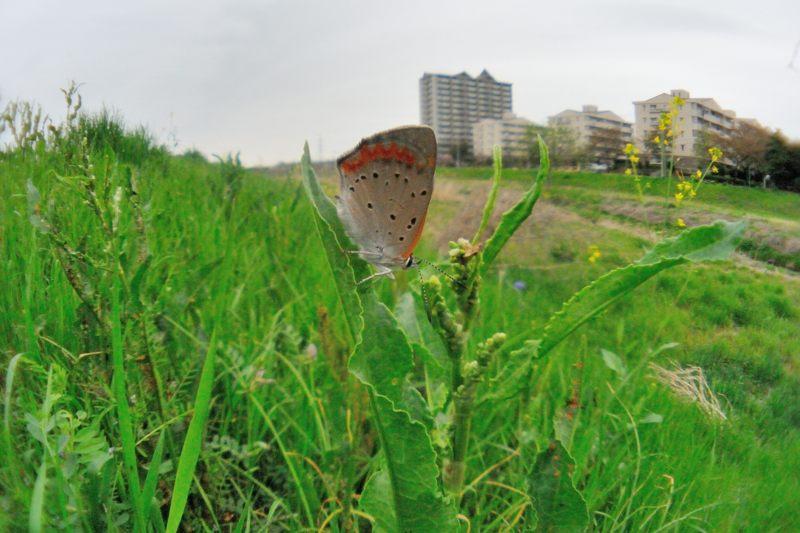小畦川便り(曇天時の蝶たち:2012/4/22)_f0031682_134012.jpg