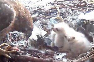 今年も鷹の赤ちゃんがニューヨーク大学の窓で生まれました!_b0007805_23244123.jpg