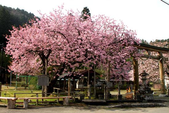 黒田の百年桜_e0048413_21552860.jpg