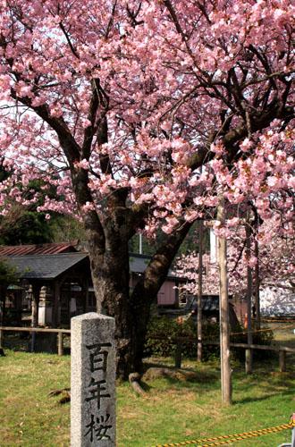 黒田の百年桜_e0048413_21554127.jpg