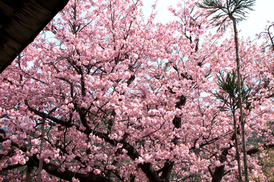 黒田の百年桜_e0048413_21561649.jpg