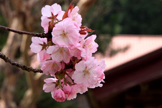 黒田の百年桜_e0048413_21564522.jpg