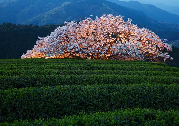 遠山桜!_a0057752_13483628.jpg