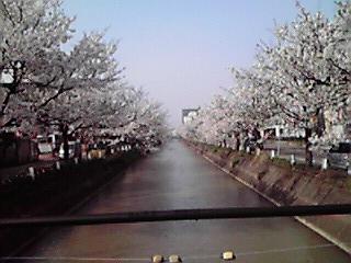 福島江 桜情報_c0204368_16403175.jpg