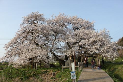 会津の五桜を取材してきました~♪part.2_d0250986_17543762.jpg