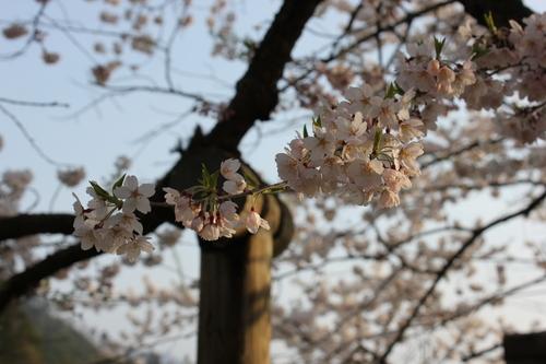 会津の五桜を取材してきました~♪part.2_d0250986_17573542.jpg