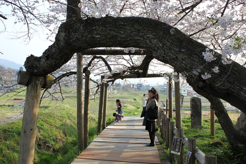 会津の五桜を取材してきました~♪part.2_d0250986_17595797.jpg
