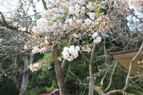 会津の五桜を取材してきました~♪part.2_d0250986_1812079.jpg