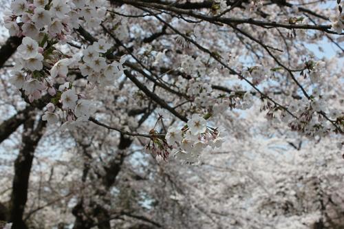 会津の五桜を取材してきました~♪part.2_d0250986_18235213.jpg