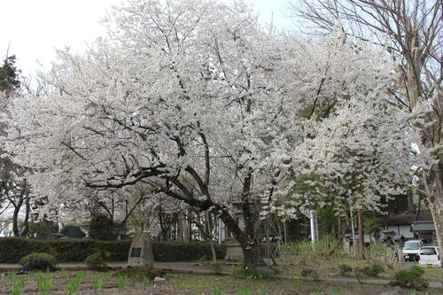 会津の五桜を取材してきました~♪part.2_d0250986_182487.jpg