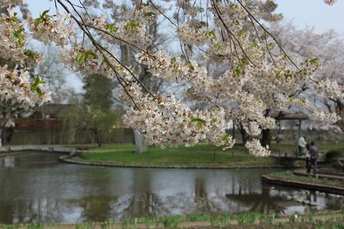 会津の五桜を取材してきました~♪part.2_d0250986_1832278.jpg