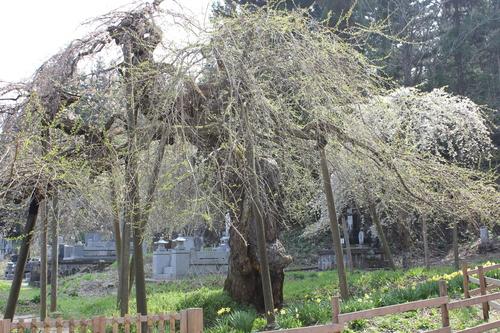 会津の五桜を取材してきました~♪part.2_d0250986_1875097.jpg