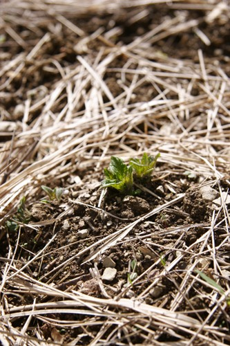 ジャガイモの芽が出ました♪~4月の畑_f0106597_1422846.jpg
