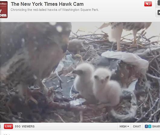 今年も鷹の赤ちゃんがニューヨーク大学の窓で生まれました!_b0007805_0174243.jpg
