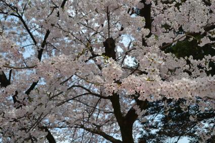 桜満開の水澤観音&BUBUcafe 2012_e0228938_20372634.jpg