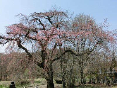 富士見の桜ウォーク_f0019247_012044.jpg
