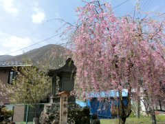 富士見の桜ウォーク_f0019247_0135325.jpg