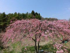 富士見の桜ウォーク_f0019247_0143095.jpg