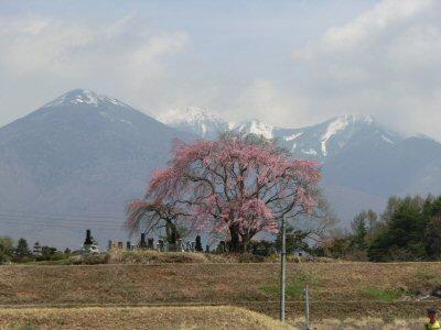 富士見の桜ウォーク_f0019247_0407.jpg