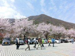 富士見の桜ウォーク_f0019247_094852.jpg