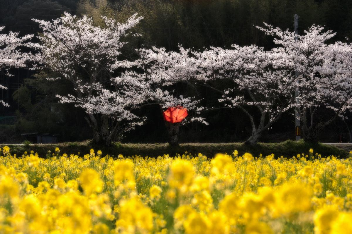 桜 2012  _f0021869_0103484.jpg