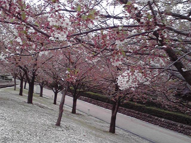 ヲタみん 夢と葉桜 cd