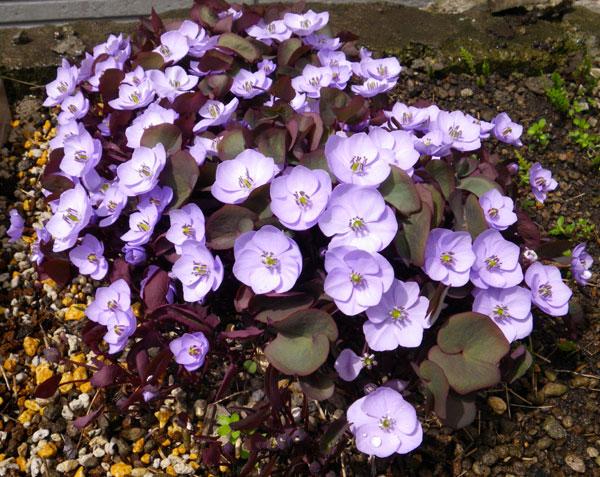 小さな段々花壇のタツタソウ^^_a0136293_16265594.jpg