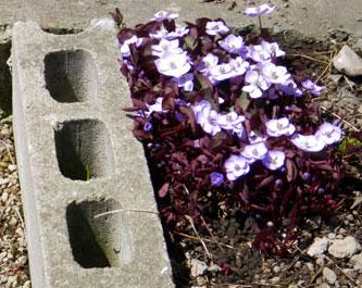 小さな段々花壇のタツタソウ^^_a0136293_16284227.jpg