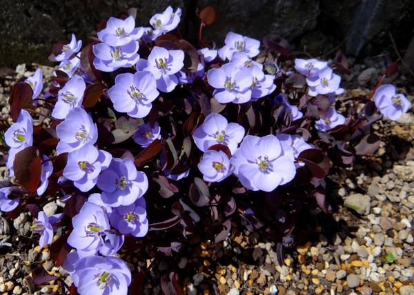 小さな段々花壇のタツタソウ^^_a0136293_17183779.jpg