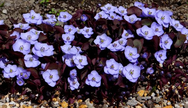 小さな段々花壇のタツタソウ^^_a0136293_17203651.jpg