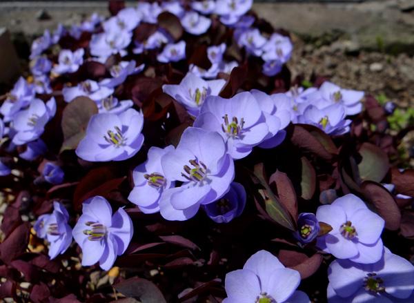 小さな段々花壇のタツタソウ^^_a0136293_17205441.jpg