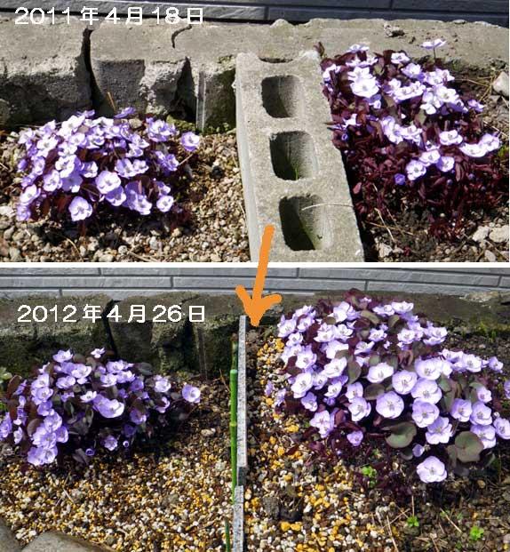 小さな段々花壇のタツタソウ^^_a0136293_1722647.jpg