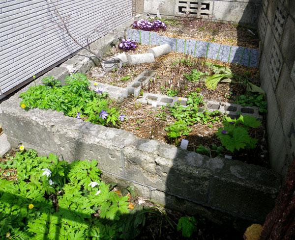 小さな段々花壇のタツタソウ^^_a0136293_17473142.jpg