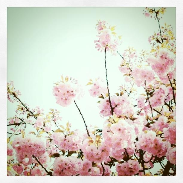 八重桜_e0031196_12255852.jpg