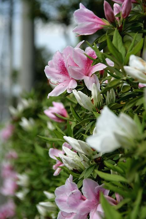 季節の花は市の花_c0120834_14464547.jpg