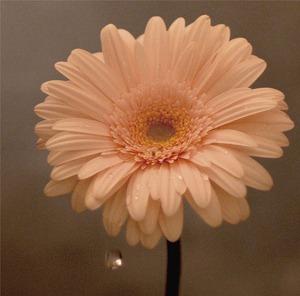 NHK「明日へ」東日本大震災復興支援ソング「花は咲く」5.23 in stores_e0025035_16584290.jpg