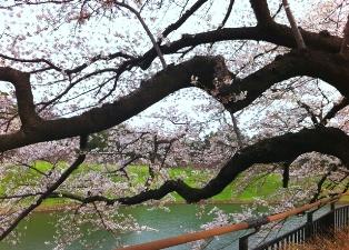 2012年の桜_f0214437_4111744.jpg