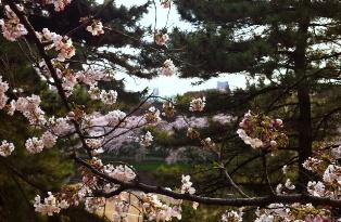2012年の桜_f0214437_4144437.jpg