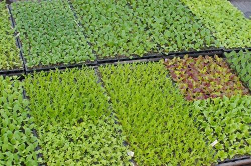 ズッキーニの発芽、菜っ葉もの植える直前_c0110869_2119575.jpg