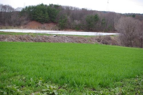 最近の小麦畑2012_c0110869_21375026.jpg