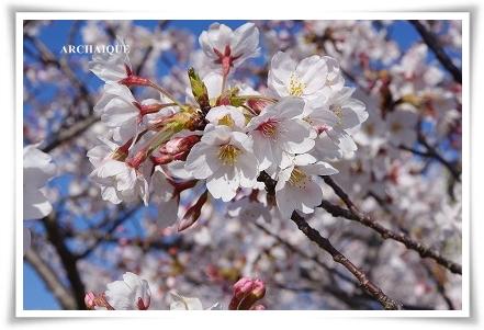 ゚・*:.。. .。.:*・゜今年の桜゚・*:.。. .。.:*・゜_c0207890_0354961.jpg