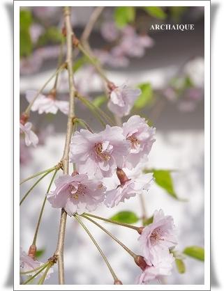 ゚・*:.。. .。.:*・゜今年の桜゚・*:.。. .。.:*・゜_c0207890_035822.jpg